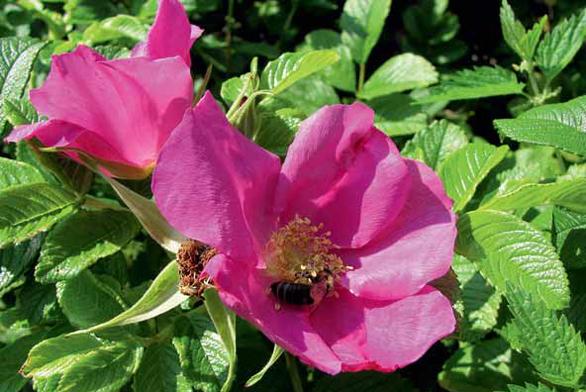 Růže svraskalá, celé léto kvetoucí keř s nádhernými velkými šípky na podzim.
