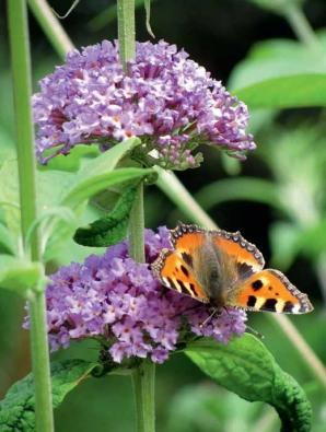 Komule Davidova spolehlivě přitahuje motýly.