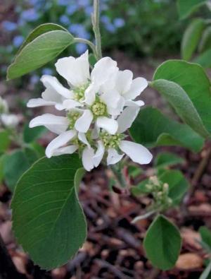 Muchovníky jsou vděčné keře také do živých plotů (nahoře obrázek květu, dole plody).
