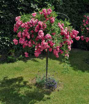 Stromkové růže jsou nejnáročnější na péči, rozkvetlé však za tu práci stojí.