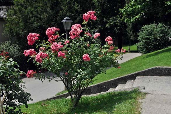 Keřové růže bývají mohutnější a vyniknou jako solitéry.