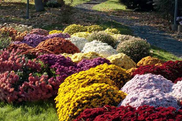 Ne každá chryzantéma u nás vydrží přes zimu, jsou to rostliny spíše teplomilné. Ale odolné mrazuvzdorné kultivary pro naše klima existují, ptejte se v dobrých zahradnictvích a ne v supermarketech. Mnoho odrůd vyšlechtili čeští zahradníci, ale musíte přímo k nim.