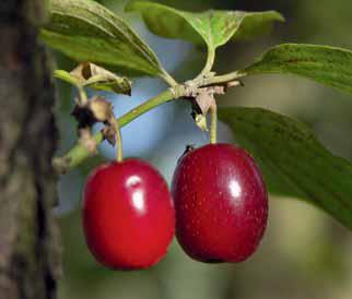 Dřín je ovocný keř, který nám nabízí naše příroda. Nyní je chráněný, výsadbu na slunném místě v zahradě si určitě zaslouží.