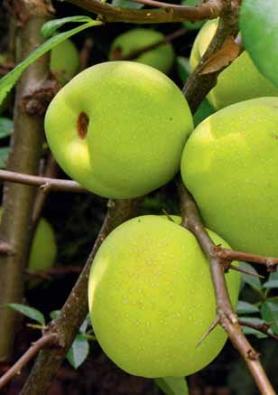 Strouhané plody kdoulovce mohou nahradit v kuchyni citron, rozmixované se stévií dají osvěžující nápoj a zavařeninám svým pektinem pomáhají želírovat.