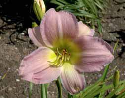 Denivka odrůdy ´Catherine Woodberry´ má velmi neobvyklou barvu květů.
