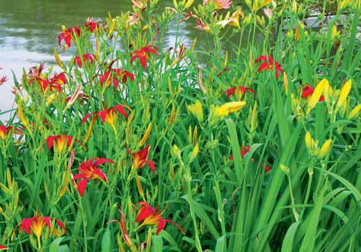 Denivky jsou krásné, porostou téměř kdekoliv, existuje tisíce kultivarů různých tvarů a barev květů. Poupata a květy jsou jedlé. Každý květ kvete jen jeden den, stále se otevírají nové. Skvělá ozdoba jídel a salátů.