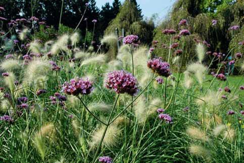 Až metr vysoká Verbena onariensis je květinou do pestrých záhonů. Vyniká i v kombinaci s trávami.