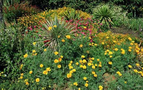 Sluncovka kalifornská (Eschscholzia californica) patří k nejrychleji rostoucím pravým letničkám. Od výsevu do květu jí stačí 6–7 týdnů.
