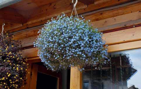 Drobná, nebesky modrá Lobelia erinus se hodí na záhon i do nádob.