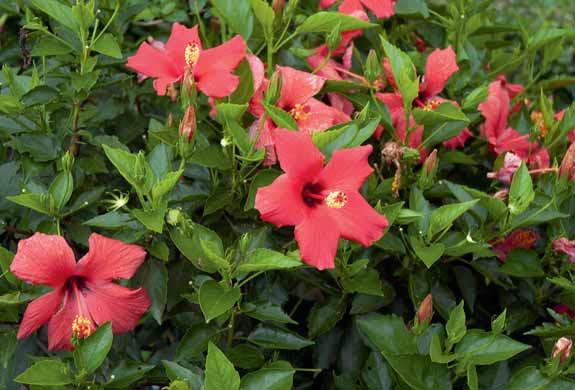 Hibiscus rosa-sinensis se pěstuje ve stovkách kultivarů.