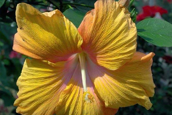 Hibiscus 'Aurora' je kultivar s mimořádně velkými květy.