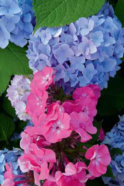 K létu patří plamenky (Phlox) a hortenzie.