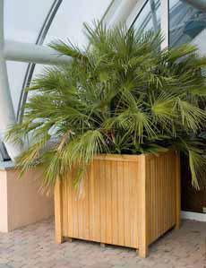 Často pěstovaná palma Chamaerops humilis dorůstá nejvýše 2m výšky, je ideální do nádob.