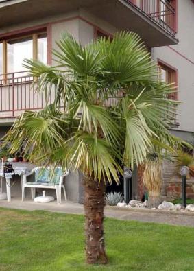 Palmy rodu Trachycarpus fortunei se v našich zahradách pěstovat dají a fotka pochází z okolí Prahy. Je však nutné palmu na zimu dobře zabalit a hlídat teploty.