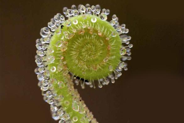 Rozvíjející se list rosnatky Drosera filiformis