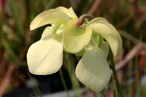 Špirlice kvetou na jaře, podle druhu žlutými nebo červenými květy.