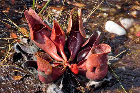 Nejodolnější druh špirlice nachová (Sarracenia purpurea) v přírodě roste až v Kanadě.