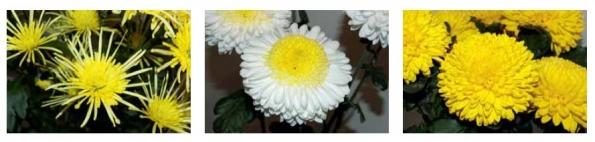 (zleva) Chrysanthemum ´Vesuvio Sunny, Chrysanthemum ´Inga´ a Chrysanthemum ´Migoli´