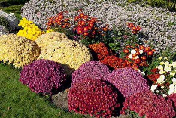 Chryzantémy jsou poslední zářivě barevné květy v sezoně. Užijte si je, než přijde nevlídná zima.