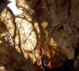 Transformující se list z pohledu žížaly. Rozpadá se na humus, mezitím s kolegy chrání půdu před vysycháním a promrzáním v zimních obdobích bez sněhu.