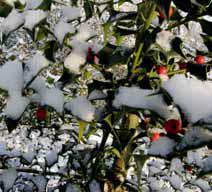 Celoročně krásná je cesmína obecná (Ilex aquifolium).
