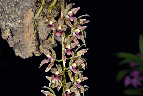 Elegantní původní druh Cymbidium devonianum šlechtitelé využívají ke křížení. Jeho geny přinášejí čokoládově hnědou barvu, drobné květy a převislá květenství.