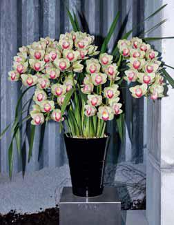 Jeden z nejnovějších kultivarů, který sbírá ceny na světových výstavách, má květy dvoubarevné. Je vyšlechtěn v Japonsku a jmenuje se ´Shinnou´.