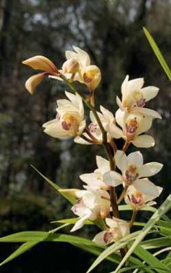 Šlechtěná květenství cymbidií bývají až metr vysoká.