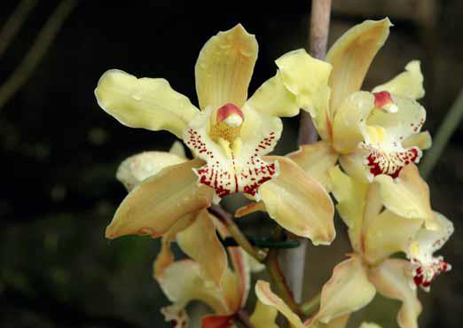 Jeden ze starších kultivarů svým otevřeným tvarem napovídá, že jedním z předků byl původní druh Cymbidium tracyanum.