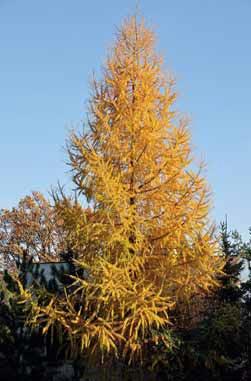 Modřín je výjimkou mezi jehličnany a opadává, ale jeho podzimní zbarvení je nádherné. V blízkosti budov je bezpečný, nevyvrátí se větrem jako smrky.