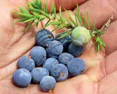 Jalovce dávají jedlé plody vhodné jako koření do pokrmů nebo k výrobě ginu.