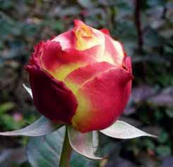 Vynikající vlastnosti má i tato velkokvětá růže ´Kordes' Jubilee´. Je velmi zdravá, výrazně voní a kvete po celou sezonu. Poupě je žluto-červené, po otevření má ale krásnou smetanověžlutou barvu. Dorůstá až 120 cm, jednotlivé květy jsou na rovných a pevných výhonech. Skvělá i do vázy, vydrží dlouho (až 10 dnů) a stále voní.