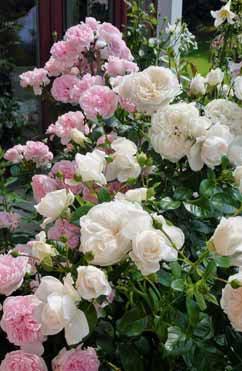 Působivá kombinace dvou špičkových romantických keřových růží zdobí zahradu po celou sezonu. Krémově-bílá ´Summer Memories´ dorůstá do 120 cm, růžová ´Cinderella´ až 150 cm. Obě růže jsou oceněny v mnoha mezinárodních soutěžích.
