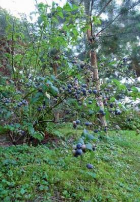 Velmi dobře prospívají v tomto prostředí i kanadské borůvky – nezapomínejte, že je lépe sesadit do skupiny různé kultivary kvůli opylování.
