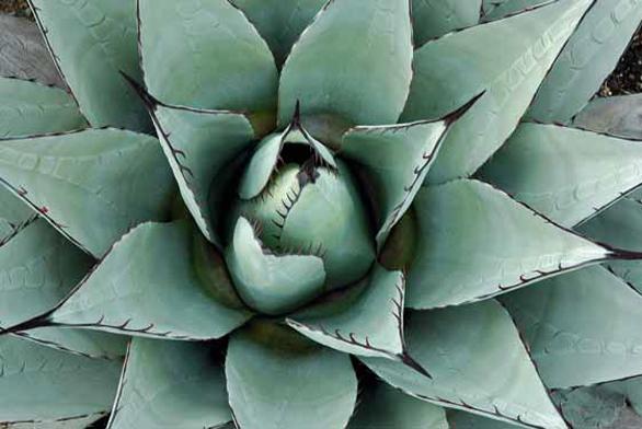 Agave neomexicana patří mezi nejodolnější druhy rodu.