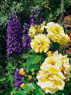 Kombinace žluté keřové růže 'Lichtkönigin Lucia' a tmavě modré ostrožky tvoří dokonalou dvojici komplementárních barev.