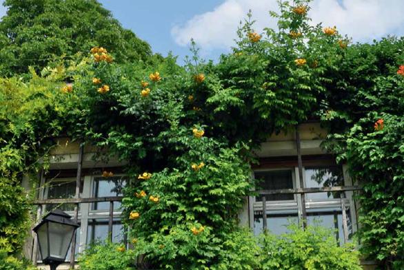 Trubač (Campsis) je nápadná a efektní liána vhodná na pergoly i zdi budov. Žlutokvětý kultivar 'Flava' hezky doplní původní červenokvětou formu.
