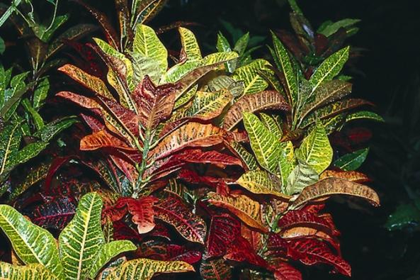 Podivec, kroton nebo obojan (Codiaeum variegatum), tyto teplomilné pokojové rostliny s pestrými listy zalévejte 1× za 4 dny vlažnou vodou. V místnosti s ústředním topením postavte k rostlině misku s oblázky zalitými vodou.