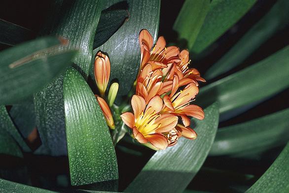 Řemenatka oranžová (Clivia miniata) – stejně jako ostatní pokojové rostliny kvetoucí v březnu zalévejte 1 až 2× týdně, v suchém bytě s ústředním topením i častěji.
