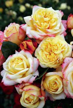 Novinka mezi vonícími velkokvětými růžemi je ´Kordes' Jubilee´. Byla vyšlechtěna k výročí 125 let od založení věhlasné růžařské fi rmy Kordes.