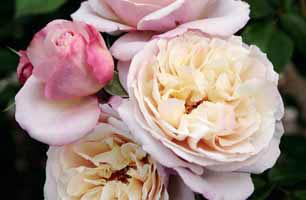 ´Herkules´ patří k nižším keřovým růžím (120 cm) a je neprávem opomíjen. Vedle vynikající odolnosti a zdraví i silně voní po citrusech a hruškách. Tahle růže si zaslouží pozornost.
