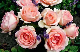 ´Souvenir de Baden-Baden´ je velkokvětá růže s květy, které jsou na okrajích jakoby nastříhány. Má výšku až 1 m, mnoho ocenění a silnou vůni po sladkých mandarinkách.