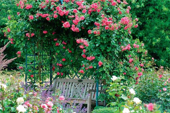 """´Laguna´ je moderní popínavá růže. Velké nostalgické květy (až 10 cm) mají barvu """"pink"""" a silně voní po citronu."""