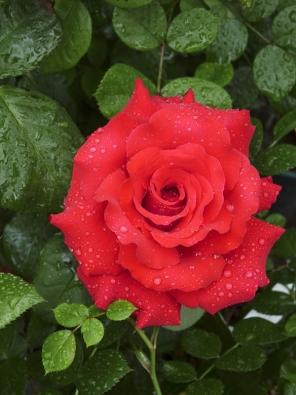 ´Grande Amore´ je typická velkokvětá růže dorůstající do 80 cm.
