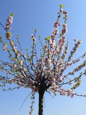 Mandloň trojlaločná se pěstuje většinou jako malý stromek. Kvete v dubnu poloplnými růžovými květy na jednoletých výhonech.