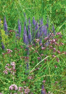 O léčivé i krásné rostliny není nouze, zde v popředí dobromysl neboli oregano. V pozadí rozrazil klasnatý.