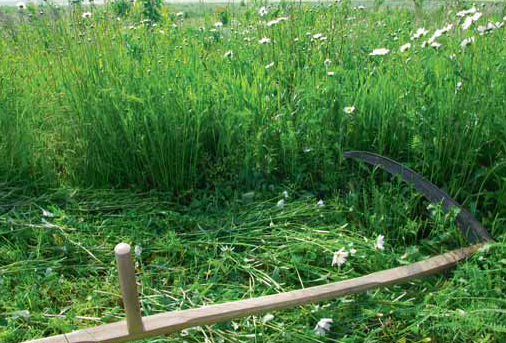 S kosením začínáme, když v květnu rozkvetou kopretiny. Kvůli kráse i broučkům je lepší kosit louku po částech, s odstupem třeba dvou týdnů.