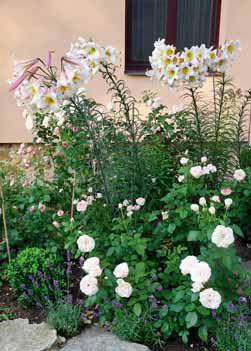 Mimořádnou ozdobou letního růžového záhonu jsou i lilie. Fantastická vůně a ztepilý vzrůst spolu s krásou květů je kombinace, která se jen těžko hledá. Na snímku je klasický druh lilie královská (Lilium regale).