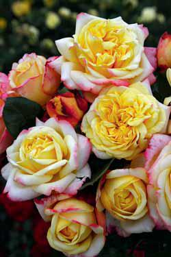 'Kordes Jubilee' je absolutní novinka mezi velkokvětými růžemi. V prodeji bude od jara příštího roku. Je vyšlechtěna k výročí 125 let od založení věhlasné růžařské firmy Kordes.