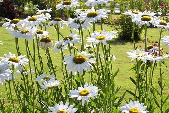 Leucanthemum maximum – kopretina